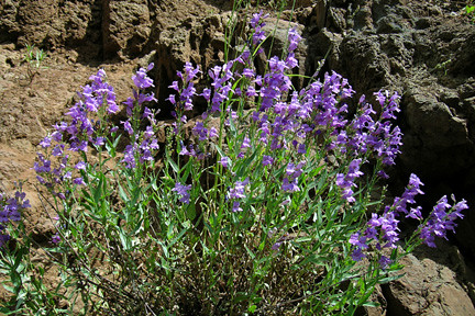 Penstemon venustus | by Christopher Christie
