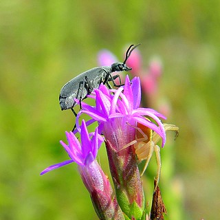 Florida Blister Beetle (Epicauta floridensis) | by bob in swamp