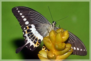 Lifecycle of Malabar Banded Swallowtail - Papilio liomedon | by Dr.K.Saji