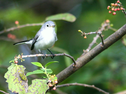 Blue-gray Gnatcatcher 20100930 | by Kenneth Cole Schneider
