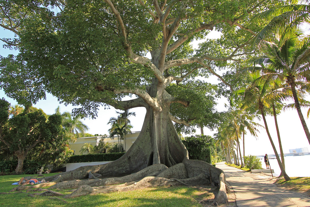 Giant Kapok Tree, Planted in 1887 | I couldn't get it all ...