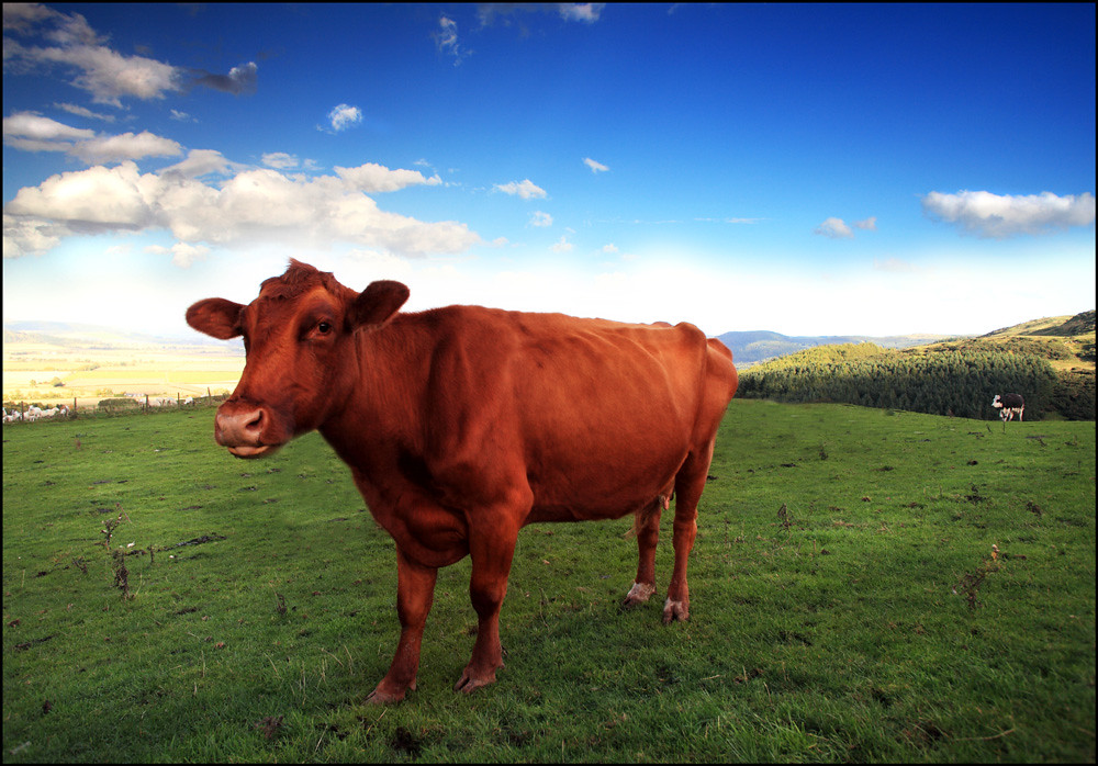Image result for red cow