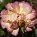 Verblühte und neue Rose im Oktober - Luitpoldpark