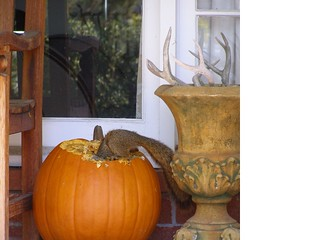 punkin squirrel2 maureen owens lafayette | by Contra Costa Times