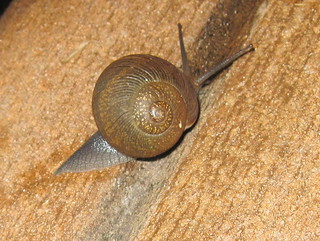 Garden Snail (ID?) 20100723 | by Kenneth Cole Schneider