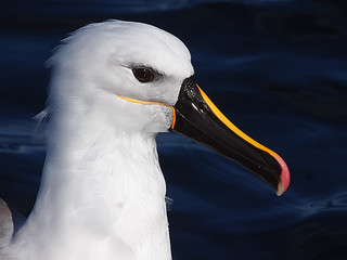 Yellow-nosed Albatross (Thalassarche chlororhynchos) | by David Cook Wildlife Photography