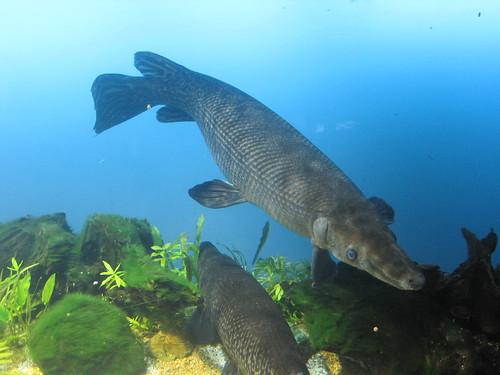Alligator gar fish atractosteus spatula toba aquarium for Lake waco fishing report