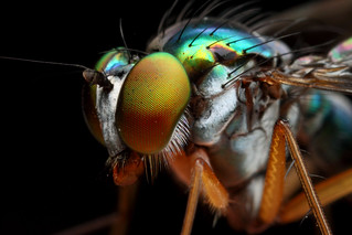 Diptera side view | by Gustavo Mazzarollo