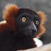 Lemurs Rock! Red Ruffed Lemur