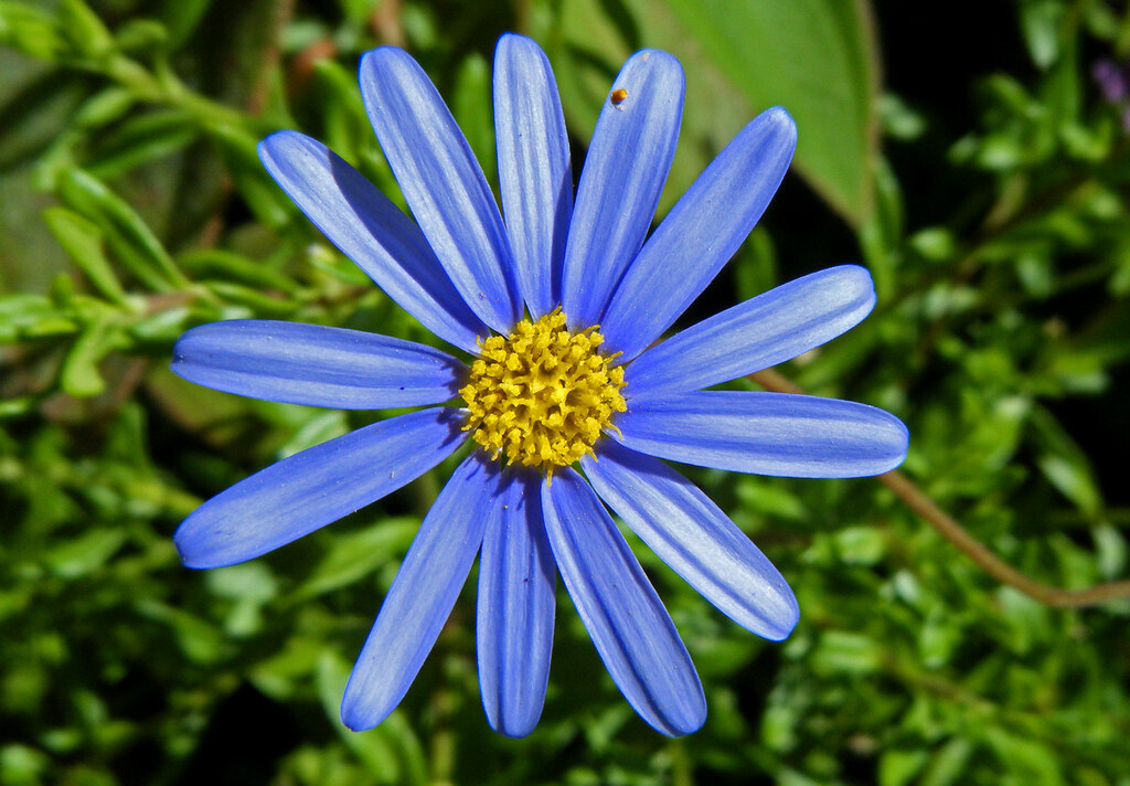 blue aster flower  trish and philip simpsonboulsbee  flickr, Natural flower