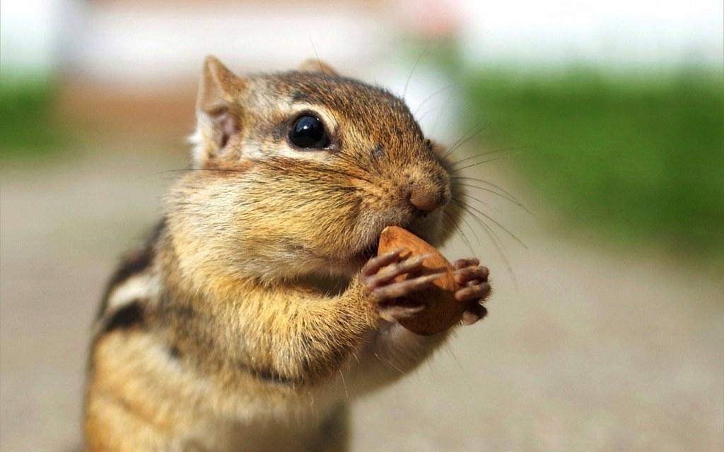 chipmunk gathering nuts