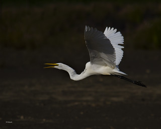 Great White Egret in Flight  Rattray Marsh Mississauga Ontario Canada | by gashphoto
