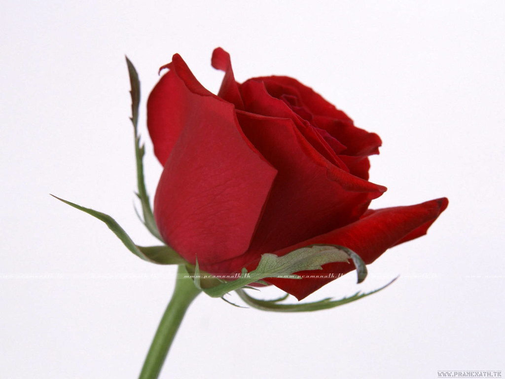 Red Rose The Symbol Of Love From 100s Years Everydaywall Flickr