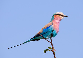 Lilac-breasted Roller | by Marc_Scott-Parkin
