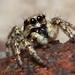 Zebra Spider (Salticus scenicus) {Explored}