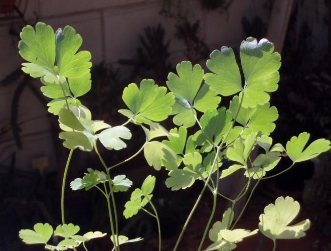 Aquilegia chrysantha 5014234552_c5172463d6_o