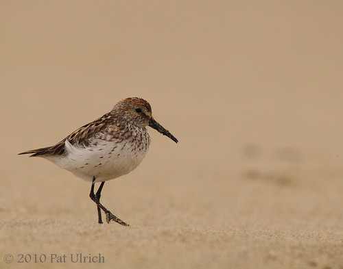 Western sandpiper | by Pat Ulrich