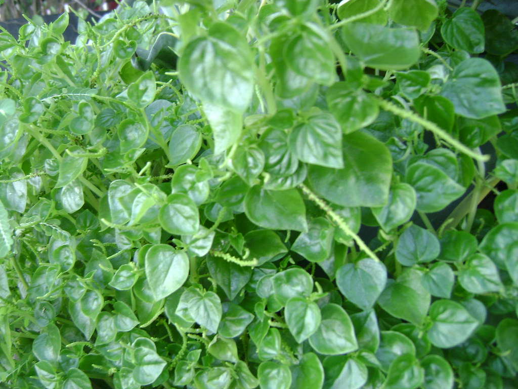 pansit pansitan Pansit-pansitan or shiny bush (peperomia pellucida) is also locally known as ulasimang-bato recently, we've started adding this plant as part of our veggies first, because it grows readily almost anywhere second, because of its medicinal properties.