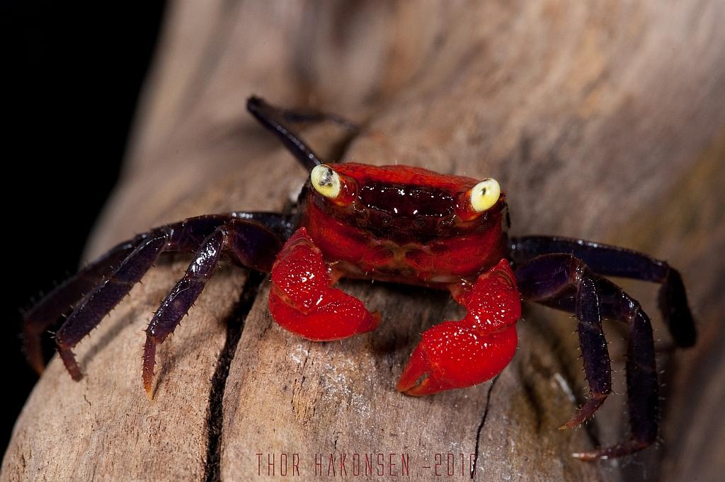 Geosesarma sp. | Vampire Crab - Geosesarma sp. | Thor ...
