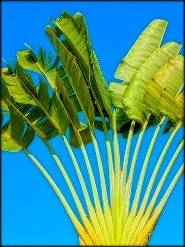 Traveller's Palm | Ravenala madagascariensis | by I Prahin | www.southeastasia-images.com