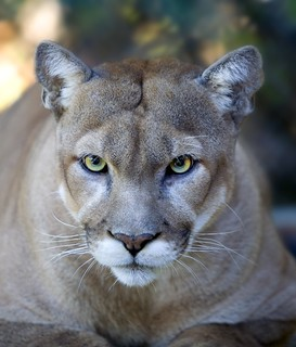 cougar | by Oregon State University