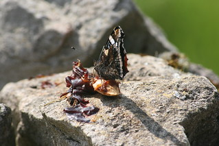 Red admiral on plums | by far closer