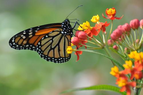 Monarch Butterfly Virginia Monarch Butterfly Danaus