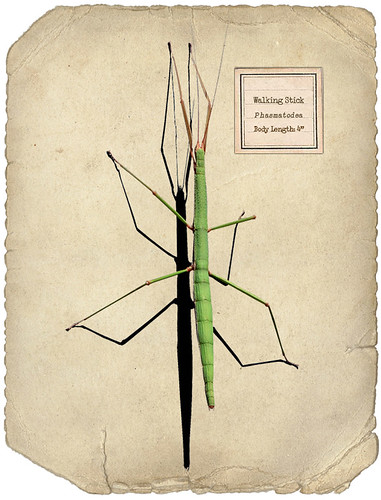 Stick insect | by Geninne