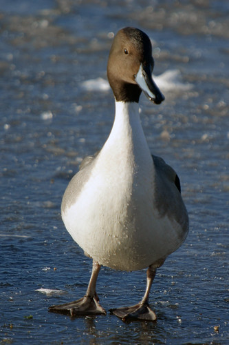 Pintail on Ice, Martin Mere November 2010 | by Gidzy