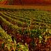 Champagne Vineyards in Autumn