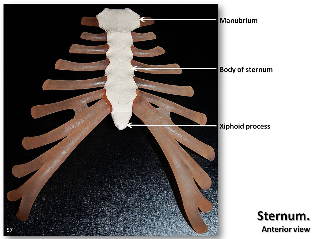 sternum and costal cartilage, anterior view with labels - … | flickr, Cephalic Vein