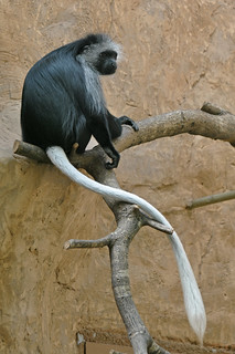 King Colobus | by Truus & Zoo