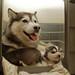 Filhotes de Husky Siberiano - Siberian Husky puppies 6