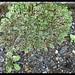 Common Liverwort, Marchantia polymorpha
