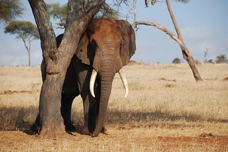 Elephant | by safari-partners