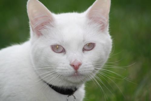 Blue Eyed Albino Cat