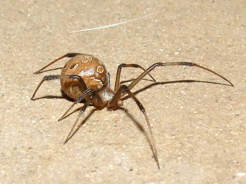 how to catch a black widow spider