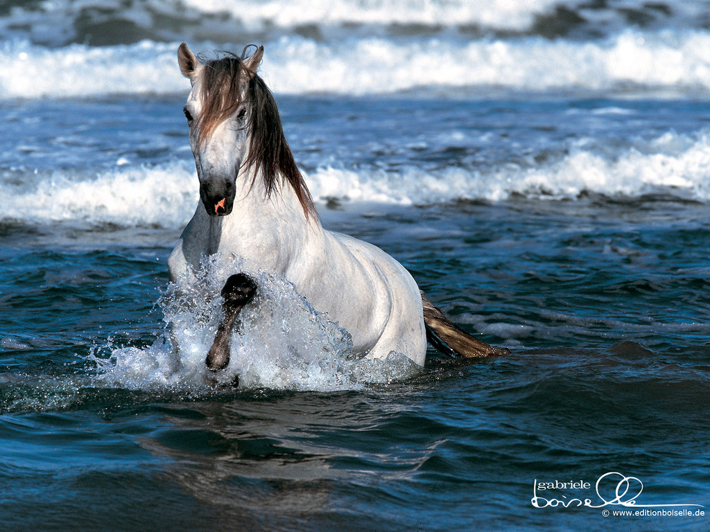 to wear - Horses White running on beach pictures video