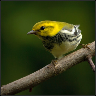 Black-throated Green Warbler | by Renda ...be back when less bear activity