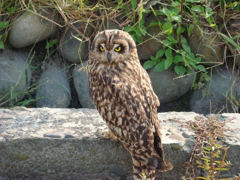 台灣的貓頭鷹都列入野保法55條,不開放民眾繁殖飼養利用。圖為秋冬期間才會出現在台灣的短耳鴞。攝影:林文隆