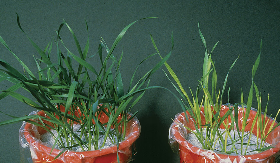 sulfur deficiency in wheat