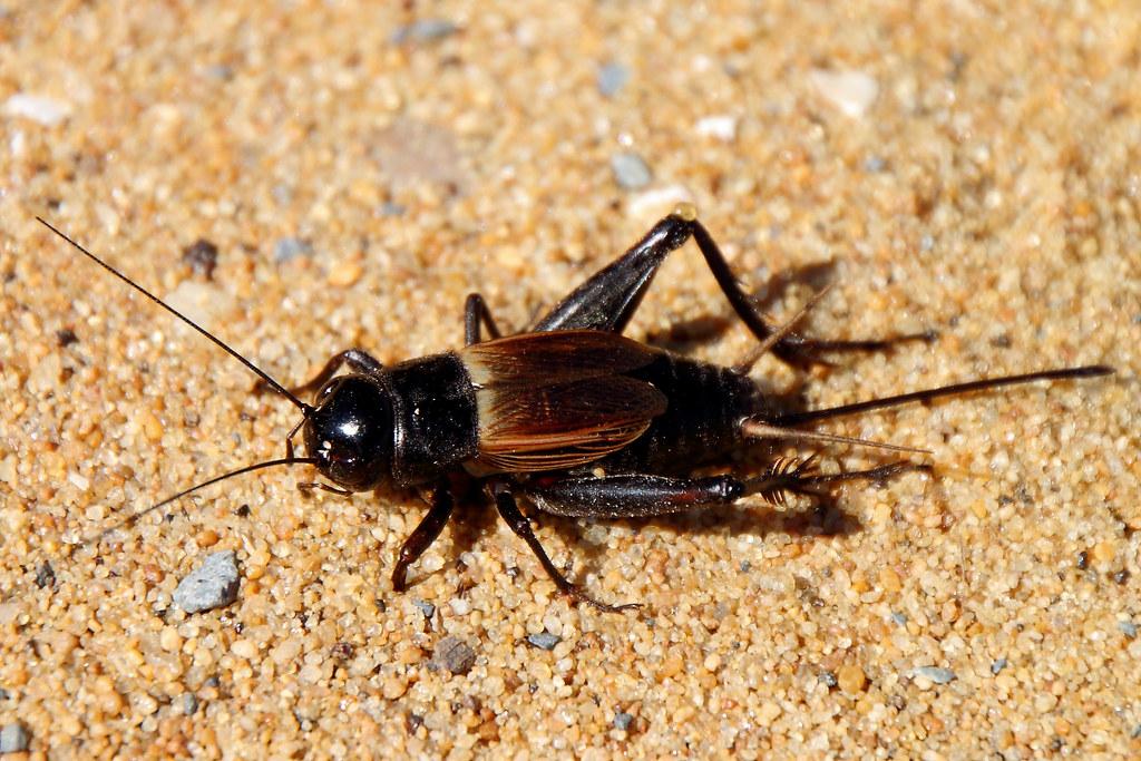 Field Cricket At Sandy Point