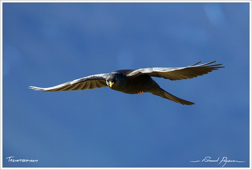 Axalp 2010 - Chocard à bec jaune - Alpine Chough | by Tazintosh