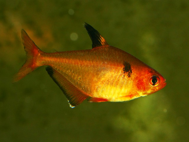 Serpae tetra Flickr - Photo Sharing!