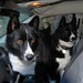 The boys were in the front seat waiting for me and a squirrel ran by outside of the van.....Sydan's eyes say it all!  For the Karelian Bear Dog, it's all about the hunt...