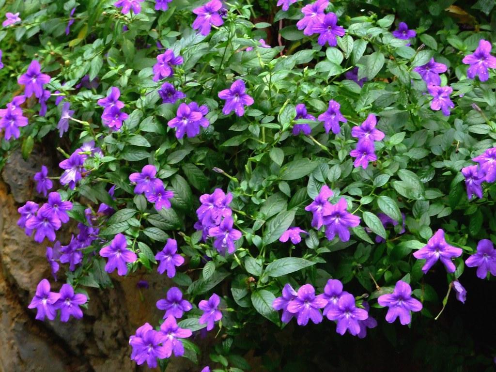 Solanaceae amethyst flower browallia speciosa for Arboles de sombra para jardin