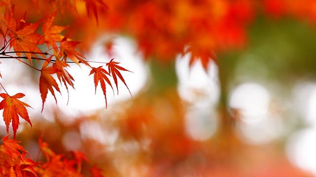 楓葉;Maple