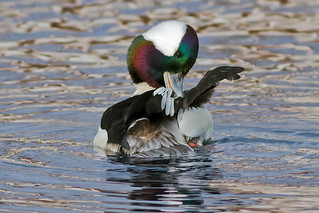 Bufflehead, male | by Phiddy1