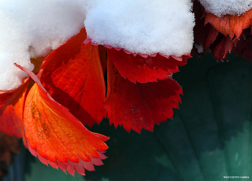 Strawberry Leaves in Snow | by West County Camera