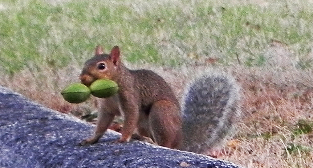 double nut fun